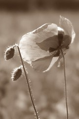 Irrémédiablement (nathaliedunaigre) Tags: poppy poppies sépia monochrome fleurs flowers wildflowers macro windy danslevent