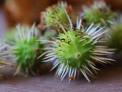Samen der Gewöhnlichen Rosskastanie (ingrid eulenfan) Tags: macromondays makro natur nature kastanienbaum rosskastanien samen poisonous giftig seifenbaumgewächse