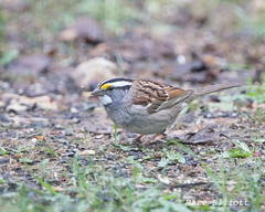 4597 White-throated Sparrow (vtbirdhouses) Tags: whitethroatedsparrow