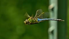 Common Green Darner (Bob's Digital Eye) Tags: bobsdigitaleye canon canonefs55250mmf456isstm commongreendarner depthoffield dragonfly insect macro odonata t3i flicker flickr