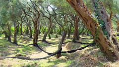 Olive Trees (stumpyheaton) Tags: photoshop parga grass green trees olive greece ionian epirus prevesa sony cyber shot dscwx350 day forest