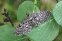 Freyer's Pug. (Eupithecia intricata) (Garry Barlow) Tags: freyerspug eupitheciaintricata pugmoth