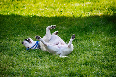 Anton wargelt... (Oliver Kuehne) Tags: anton jackrussell dog chien hund beyern bavaria allgäu germany athome pentaxk3