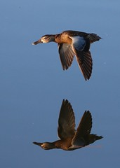 Blue winged teal over the lake (Victoria Morrow) Tags: