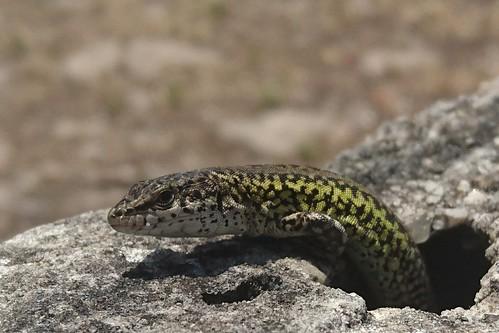 Lizard exiting hole