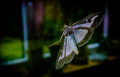 DSCF0968 (bc-schulte) Tags: xt20 fujinon 1650mm polaroid nahlinse 4 macro insekt motte