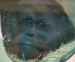 DSC00536 (sylviagreve) Tags: 2017 apenheul orangutan apeldoorn gelderland netherlands nl