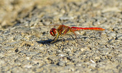 Red-veined darter - Malinovordeči kamenjak (Bojan Ž.) Tags: dragonfly sympetrumfonscolombii redveineddarter macro closeup malinovordečikamenjak nature