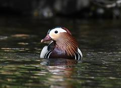 Mandarin Duck 10 (mandarínönd) (Svenni and his Icelandic birds.) Tags: aixgalericulata mandarinduck mandarínönd