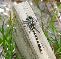 Unicorn clubtail (Arigomphus villosipes) @ Cloudland Canyon (Vicki's Nature) Tags: unicornclubtail male big clubtail dragonfly arigomphusvillosipes brown yellow arrows spots wings blueeyes wood board water sparkly pond cloudlandcanyon georgia vickisnature canon s5 8993 rare