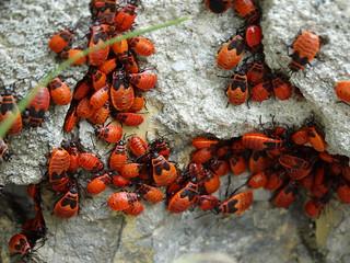 Larven der Gemeine Feuerwanze (Pyrrhocoris apterus)