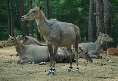 Safaripark Beekse Bergen (Autosafari)  Antilope (ditmaliepaard) Tags: safaripark beeksebergen hilvarenbeek autosafari a6000 sony antilope nijlgau nilgai boselaphus tragocamelus is