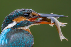 Up Close and Personal (Mr F1) Tags: kingfisher close detail macro alcedoathis johnfanning wild nature outdoors woodland riverside fish feathers eyes electric blue flash female red rain dull dank grey
