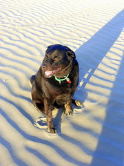 Colonel again- 11 yrs old. (912greens) Tags: colonel labs pets mydog beaches moclips