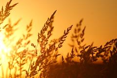 Grass and Sunset II (dylan583) Tags: saskatchewan sonydslra700 sonyalpha sonya700 tamronsp45670300usd tamron telelphotolens telephoto sunset backlit silhouette slough plant grass