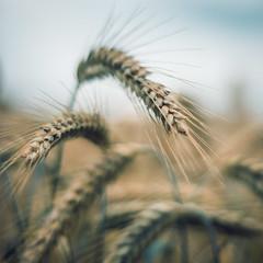 Grains in a field (VintageLensLover) Tags: getreide feld sommer bokeh schärfentiefe dof olympus omd em1 m43 bergischesland nrw