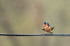 Summer Rain (Andrew_Leggett) Tags: swallow hirundorustica bird wire perched rain shower summer nature natural wild wildlife