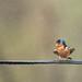Summer Rain (Andrew_Leggett) Tags: swallow hirundorustica bird wire perched rain shower summer nature natural wild wildlife
