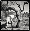 Calabria, Italy, 2017 (Giovanni Marasco) Tags: blackandwhite dog animal illustration pets oldfashioned animalthemes old outdoors history canine nature retrostyled obsolete print antique victorianstyle classicalstyle domesticanimals mammal rolleiflex carlzeiss planar pancro400 bergger hc110b filmphotografy analog film filmism 120 6x6 mediumformat