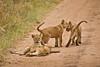 Lions of Maasai Kopjes 451 (Grete Howard) Tags: bestsafarioperator bestsafaricompany africa africansafari africanbush africananimals whichsafaricompany whichsafarioperator tanzania serengeti animals animalsofafrica animalphotos lions lioncubs maasaikopjes kopjes kopje