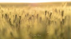 Wheat Glistens (Chris Lakoduk) Tags: wheat field sunshine glisten bokeh shimmer rustle growing farm blur golden straw color photography nikon beautiful peaceful