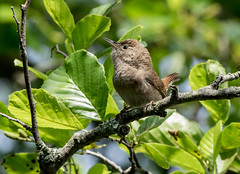 House Wren (johnny4eyes1) Tags: songbirds birds bayardcuttingarboretum wren nature