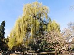 Salix babylonica (pga_99) Tags: tree trees nature park spain león sauce salix babylonica willow green spring