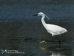 Little egret in West Looe River-6 (Neil Phillips) Tags: ardeidae aves egrettagarzetta littleegret neoaves pelecaniformes bird footed heron longlegs longneck yellow