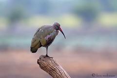 Alone (leendert3) Tags: ngc npc leonmolenaar wildlife nature southafrica krugernationalpark hadedaibis