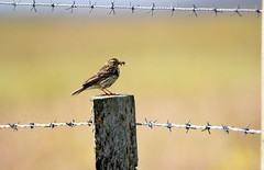 Meadow Pipit. (artanglerPD) Tags: meadow pipit food young post barbed wire