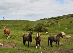 Fermanagh horses. (carolinejohnston2) Tags: equine animals pets countryside hills fields sheep ireland cofermanagh