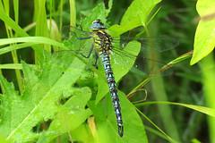 IMGP2141c Hairy Dragonfly, Wicken Fen, June 2017 (bobchappell55) Tags: wickenfen nationaltrust naturereserve nature wild wildlife hairy dragonfly insecr