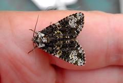 The Coronet Moth (Craniophora ligustri) (Nick Dobbs) Tags: the coronet moth craniophora ligustri uncommon insect rare dorset noctuidae acronictinae