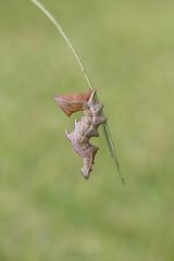 Notodonta ziczac (jojesari) Tags: ar217g 2017 notodontaziczac oruga gusano insecto polilla jojesari suso