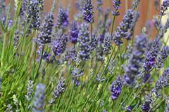 lavender (conall..) Tags: lavender lavanda flower pot patio container growing