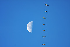Migration: Snow geese (ll1861) Tags: migration geese wildlife flickr explore moon bird