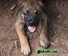 Ace, 8 Weeks (muslovedogs) Tags: mastweiler dog puppy rottweiler mastiff