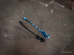 Above the Shadows (JKmedia) Tags: insect mating damsel fly flies wings water lake pond bodnantgardens wales northwales nationaltrust nature macro wildlife lily boultonphotography ef100mmf28lmacroisusm natural eyes blue moustache closeup azure hairy spiky shallowdof
