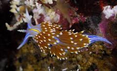Hermissenda opalescens (Carmel Pt) (Jeff Goddard 32) Tags: carmelpoint montereycounty california lowtide tidepools nudibranchs