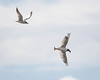 Sandterne  Gull-billed tern (hdahlby) Tags: blackheadedgull gullbilledtern hettemåke innstrand sandterne sørtrøndelag norway no