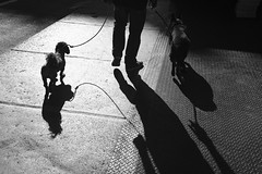 Overexposed Dog Shadows (Zach K) Tags: overexposed harsh lighting direct sunlight manhattan dog shadows canine straps interestingshadows fujifilm fuji acros x100f bw blackwhite