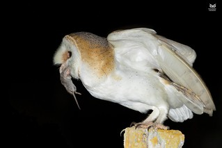 Natural feeding and 100% in wild! :) Coruja-das-torres, Barn Owl (Tyto alba)