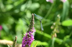 Damselflies (careth@2012) Tags: damselflies nature wings britishcolumbia odonata insect