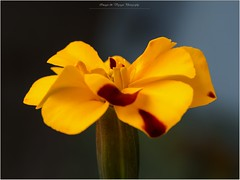 Pb_6220112 [Explore] (Fernand EECKHOUT) Tags: imagesvoyages photography olympus omd em1mkll zuiko m60macrof28 adobe photoshop juin 2017 macrophotographie macro fleur flowers oeilletdinde essais explore
