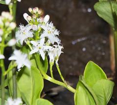 Buckbean Menyanthes trifoliata_5223 (Alice & Seig) Tags: eh16birdingmaine5212617 plants asteridae solanales buckbeanfamilymenyanthaceae flickr barharbor maine unitedstates