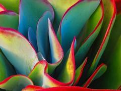 Paddle Plant Waves (Martha J Spelman) Tags: succulent succulents paddleplant succulove red waves green postprocessing enhanced likeapainting artphoto garden