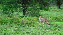Pretty pose (John Kok) Tags: tanzania ndutu april2017 cheetah acinonyxjubatus nikkor20050056evr2