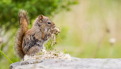 Squirrel Snacking (Melissa M McCarthy) Tags: redsquirrel squirrel eating dandelions cute animal nature outdoor green brown stjohns newfoundland canon7dmarkii canon100400isii