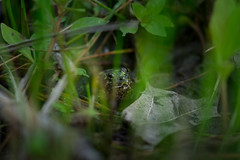 singing frog (severalsnakes) Tags: kansas m1004macro pentax saraspaedy shawnee shawneemissionpark amphibian frog k1