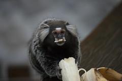 "Sagui ""Callitrichidae"" (Rod.T28) Tags: canon1dsmarkiii canon100400mmf4556lisusm nature monkey micosagui riodejaneiro brazil"